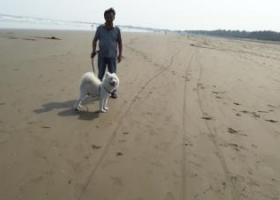 寻狗启示,永不放弃,寻找爱犬萨摩耶,它是一只非常可爱的宠物狗狗,希望它早日回家,不要变成流浪狗。