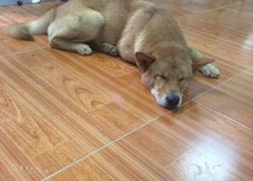 寻狗启示,各位大神帮忙帮忙找狗狗,它是一只非常可爱的宠物狗狗,希望它早日回家,不要变成流浪狗。
