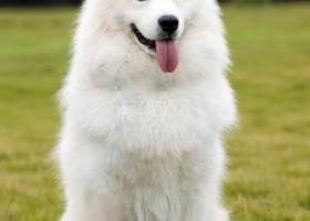 寻狗启示,市委广场附近捡到一只萨摩。,它是一只非常可爱的宠物狗狗,希望它早日回家,不要变成流浪狗。
