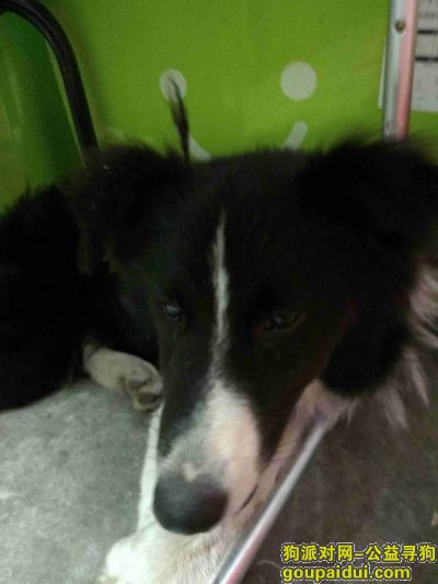 南通寻狗主人,捡到一只成年边境牧羊犬,,它是一只非常可爱的宠物狗狗,希望它早日回家,不要变成流浪狗。