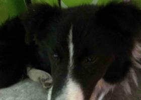 寻狗启示,捡到一只成年边境牧羊犬,,它是一只非常可爱的宠物狗狗,希望它早日回家,不要变成流浪狗。