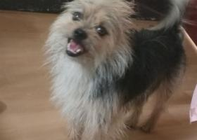 寻狗启示,爱犬于2017.9.9日晚10点多在新村7-51附近丢失,它是一只非常可爱的宠物狗狗,希望它早日回家,不要变成流浪狗。