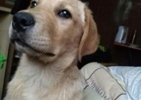 寻狗启示,寻找丢失的拉布拉多狗狗,它是一只非常可爱的宠物狗狗,希望它早日回家,不要变成流浪狗。