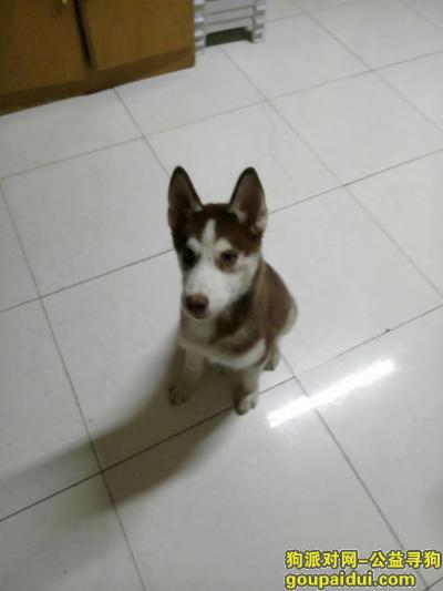 寻狗启示,寻找狗主人,本人捡到一只四五个月大小哈士奇,它是一只非常可爱的宠物狗狗,希望它早日回家,不要变成流浪狗。