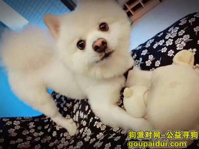 寻狗启示,寻找爱犬博美 送回重谢,它是一只非常可爱的宠物狗狗,希望它早日回家,不要变成流浪狗。
