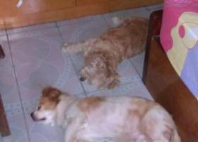 寻狗启示,寻找2只爱犬:蝴蝶犬和混种贵宾,它是一只非常可爱的宠物狗狗,希望它早日回家,不要变成流浪狗。