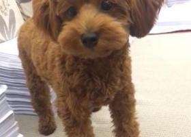 寻狗启示,泰迪狗狗在屋夏桥附近走失,它是一只非常可爱的宠物狗狗,希望它早日回家,不要变成流浪狗。