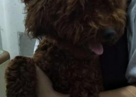 寻狗启示,福州学生街万里青年公馆捡到只泰迪小狗,它是一只非常可爱的宠物狗狗,希望它早日回家,不要变成流浪狗。