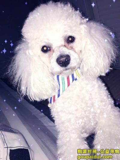 【连云港找狗】,寻找比熊,但是长的像贵宾,它是一只非常可爱的宠物狗狗,希望它早日回家,不要变成流浪狗。
