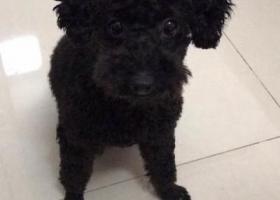 寻狗启示,惠州乌石寻找黑色泰迪妹妹,它是一只非常可爱的宠物狗狗,希望它早日回家,不要变成流浪狗。