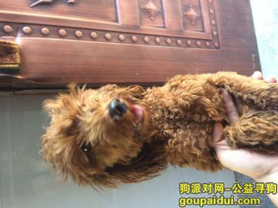 ,抚州捡到一只公泰迪做了绝育的狗,肩高四十厘米,一岁左右,主人快来认领,它是一只非常可爱的宠物狗狗,希望它早日回家,不要变成流浪狗。