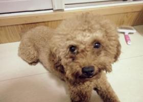 寻狗启示,寻狗启示寻找泰迪寻找我的家人,它是一只非常可爱的宠物狗狗,希望它早日回家,不要变成流浪狗。