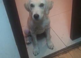 拉布拉多3个月大,公狗,潜光色,家人急坏了,如有知情者请联系本人,