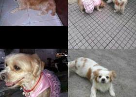 寻狗启示,江门市蓬江区象山新村寻找两只爱犬,它是一只非常可爱的宠物狗狗,希望它早日回家,不要变成流浪狗。