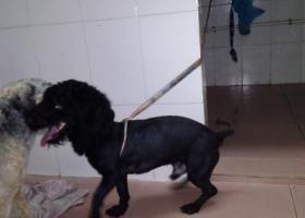 寻狗启示,虎门怀德路固邦公司对面捡到狗,它是一只非常可爱的宠物狗狗,希望它早日回家,不要变成流浪狗。