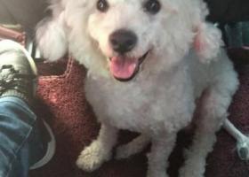 寻狗启示,捡到一只白色比熊,主人尽快与我联系,它是一只非常可爱的宠物狗狗,希望它早日回家,不要变成流浪狗。