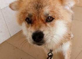 寻狗启示,镇隆镇大路背变电站丢失一条黄色宠物狗,它是一只非常可爱的宠物狗狗,希望它早日回家,不要变成流浪狗。