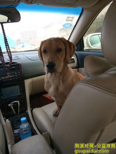 忻州找狗,在宁武县城寻一只六个月大的金黄色的拉不拉多,它是一只非常可爱的宠物狗狗,希望它早日回家,不要变成流浪狗。