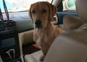 寻狗启示,在宁武县城寻一只六个月大的金黄色的拉不拉多,它是一只非常可爱的宠物狗狗,希望它早日回家,不要变成流浪狗。