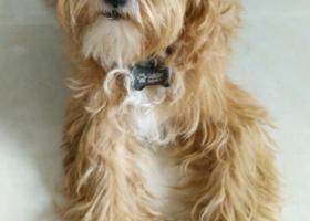 寻狗启示,寻狗启事(寻找爱犬Golden)广元,它是一只非常可爱的宠物狗狗,希望它早日回家,不要变成流浪狗。