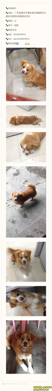 潮州寻狗启示,寻狗启示----广东潮州彩塘,它是一只非常可爱的宠物狗狗,希望它早日回家,不要变成流浪狗。