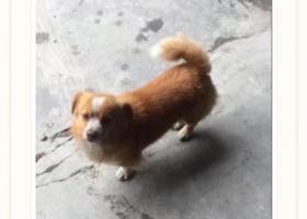 寻狗启示,寻狗启示----广东潮州彩塘,它是一只非常可爱的宠物狗狗,希望它早日回家,不要变成流浪狗。