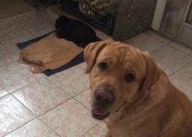 寻狗启示,本人丢失一黄色拉布拉多,想借本平台寻狗,它是一只非常可爱的宠物狗狗,希望它早日回家,不要变成流浪狗。