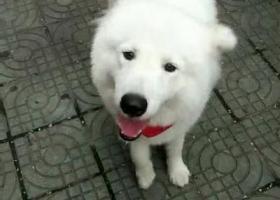 寻狗启示,山西省运城市永济市樱花园8月25晚上走丢,,它是一只非常可爱的宠物狗狗,希望它早日回家,不要变成流浪狗。