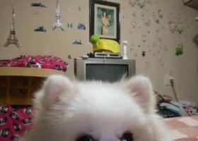 寻狗启示,寻狗一只白色博美,一只小公狗,一岁左右,它是一只非常可爱的宠物狗狗,希望它早日回家,不要变成流浪狗。