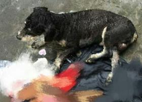 寻狗启示,江干区看到一只走丢的雪纳瑞,它是一只非常可爱的宠物狗狗,希望它早日回家,不要变成流浪狗。