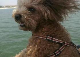 寻找自家的泰迪狗狗跳跳