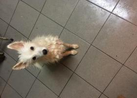 寻狗启示,苏州园区红星门口捡到只银狐犬,,它是一只非常可爱的宠物狗狗,希望它早日回家,不要变成流浪狗。