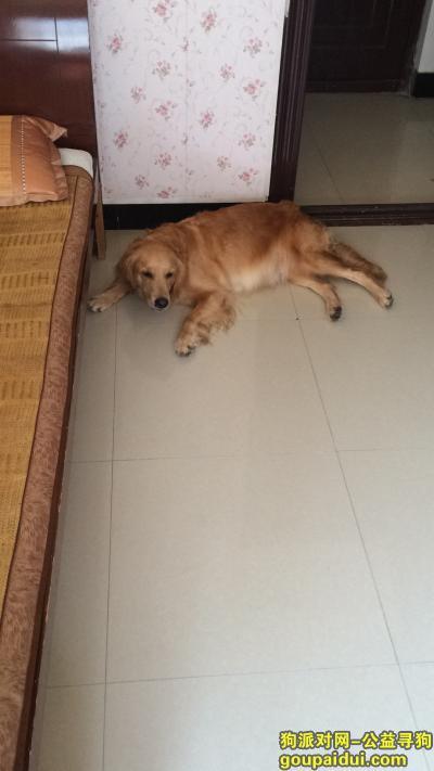 义乌捡到狗,9月18日在建设二村捡到一直母金毛,它是一只非常可爱的宠物狗狗,希望它早日回家,不要变成流浪狗。