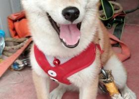 寻狗启示,捡到一只狗狗,不知道谁的,它是一只非常可爱的宠物狗狗,希望它早日回家,不要变成流浪狗。