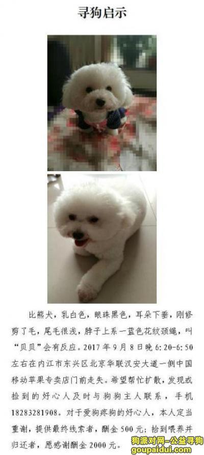 ,四川内江 寻找比熊贝贝 必有重谢,它是一只非常可爱的宠物狗狗,希望它早日回家,不要变成流浪狗。