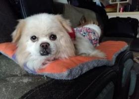 寻狗启示,北京犬,公,身上有背带,9月29日下午4、5点在平安小区后门走失,它是一只非常可爱的宠物狗狗,希望它早日回家,不要变成流浪狗。