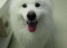 寻狗启示,寻找2017年9月19丢失的3岁纯白萨摩耶,它是一只非常可爱的宠物狗狗,希望它早日回家,不要变成流浪狗。