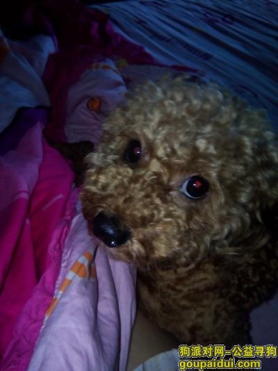,找一只红棕泰迪,三岁大屁股后面有两块疤,它是一只非常可爱的宠物狗狗,希望它早日回家,不要变成流浪狗。