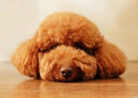 寻狗启示,成年红色泰迪崇川区八佰伴旁市民广场,它是一只非常可爱的宠物狗狗,希望它早日回家,不要变成流浪狗。