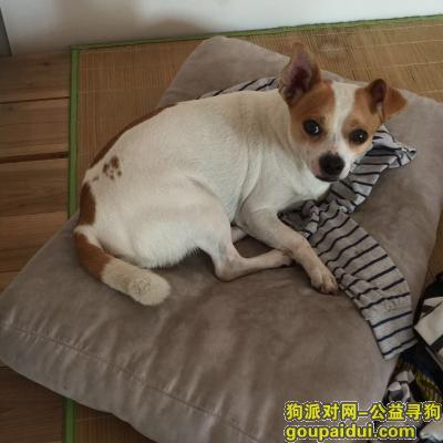 ,寻找爱犬吉娃娃,10月1日顺德大良桂畔花园走失,它是一只非常可爱的宠物狗狗,希望它早日回家,不要变成流浪狗。