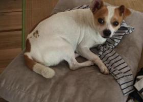 寻狗启示,寻找爱犬吉娃娃,10月1日顺德大良桂畔花园走失,它是一只非常可爱的宠物狗狗,希望它早日回家,不要变成流浪狗。