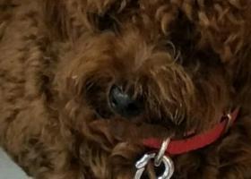 寻狗启示,棕色泰迪身上很香扎个小辫刚发帖号码错了一个数字这个是正确的,它是一只非常可爱的宠物狗狗,希望它早日回家,不要变成流浪狗。