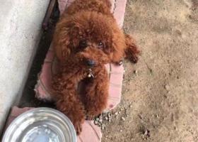 寻狗启示,潍坊市昌乐县五图镇岳家庄村寻找泰迪,它是一只非常可爱的宠物狗狗,希望它早日回家,不要变成流浪狗。