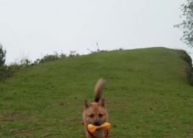 寻狗启示,自家土狗在成安渝高速安岳收费站走丢,悬赏寻找,它是一只非常可爱的宠物狗狗,希望它早日回家,不要变成流浪狗。