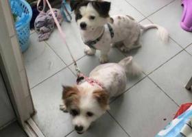 寻狗启示,2017年10月7日一公一母两只蝴蝶犬在惠城走丢,它是一只非常可爱的宠物狗狗,希望它早日回家,不要变成流浪狗。