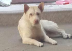 寻狗启示,广东汕头寻找爱狗,白色土狗,必有酬谢,它是一只非常可爱的宠物狗狗,希望它早日回家,不要变成流浪狗。