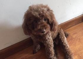 寻狗启示,寻狗启示:丢失一条棕色泰迪母狗,它是一只非常可爱的宠物狗狗,希望它早日回家,不要变成流浪狗。
