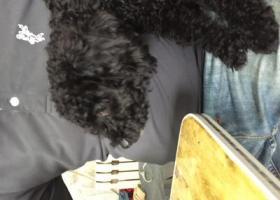 2017.10.8日下午,于二道区自由大路深圳街交汇捡到一只黑色母泰迪,体长50公分。