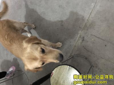 嘉兴捡到狗,桐乡县前街捡到一只公金毛,它是一只非常可爱的宠物狗狗,希望它早日回家,不要变成流浪狗。