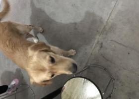 寻狗启示,桐乡县前街捡到一只公金毛,它是一只非常可爱的宠物狗狗,希望它早日回家,不要变成流浪狗。